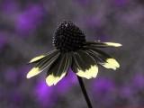 Rudbeckia_triloba_U2_P1470052a_c.jpg