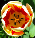 Macro of a White and Red Tulip