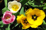 Colorful Variety of Tulips