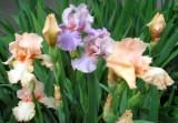 Pale Purple and Peach Iris