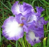White and Purple Iris