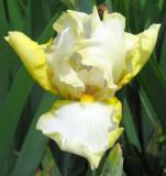 Yellow and White Iris