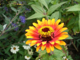 Orange And Yellow Zinnia