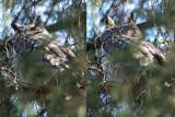 Grand-duc d'Amérique (Great-horned owl)