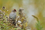 Bruant à couronne blanche juvenile (White-Crowned sparrow)