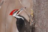 Grand Pic male (Pileated woodpecker)