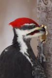 Grand Pic (Pileated woodpecker)