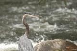 Grand héron (Great-blue heron)