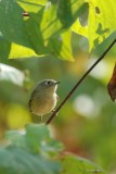Roitelet à couronne rubis  (Ruby-crowned Kinglet)
