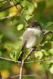 Moucherolle phébi (Eastern phoebe)