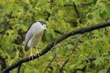 Bihoreau gris (Black-crowned night heron)