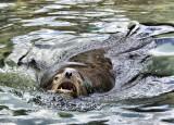 Sea Lion Roars!