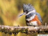 Belted Kingfisher, f.