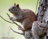 Calif Ground Squirrel