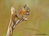 Yellow Pine Chipmunk