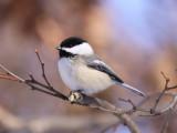 Perching Birds (Passerines)