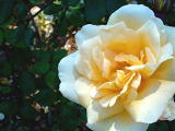 ROSE lady hollingdon