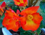 Flowers, orange and yellow