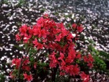 blossoms scattered.jpg