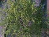 tree and cobblestones.jpg