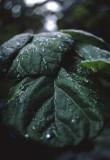dewy leaf.jpg