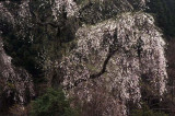 agematsu cherry blossoms.jpg
