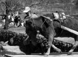 leading bull.jpg