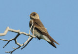 Rough Winged Swallow 0509-1j  Hardy Canyon