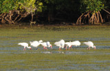 White Ibis  0409-2j  Sanibel