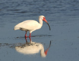 White Ibis  0409-3j  Sanibel