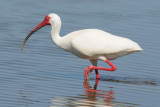 White Ibis  0409-7j  Sanibel