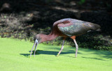 Glossy Ibis  0409-2j  Green Cay