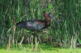 Glossy Ibis  0409-5j  Green Cay