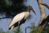 Wood Stork  0409-1j  Corkscrew Swamp