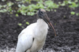 Wood Stork  0409-3j  Corkscrew Swamp