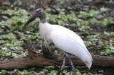 Wood Stork  0409-5j  Corkscrew Swamp