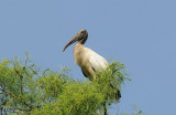Wood Stork  0409-7j  Corkscrew Swamp