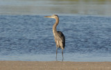 Blue Heron 0409-1j  Sanibel