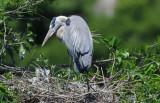 Blue Heron Nest  0409-2j  Wakodahatchee