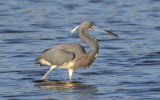 Tricolored Heron  0409-3j  Sanibel