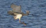 Tricolored Heron  0409-4j  Sanibel