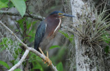 Green Heron  0409-7j  Big Cypress