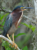 Green Heron  0409-6j  Big Cypress