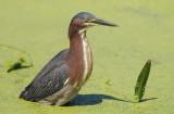 Green Heron  0409-5j  Wakodahatchee