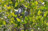 Yellow-crowned Night Heron Nest  0409-7j  Sanibel