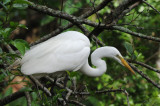 Great Egret  0409-4j  Corkscrew Swamp