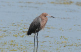 Reddish Egret  0409-7j  Sanibel