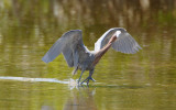 Reddish Egret  0409-4j  Sanibel