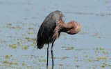 Reddish Egret  0409-9j  Sanibel