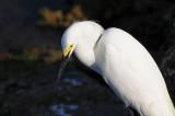 Snowy Egret  0409-6j  Sanibel